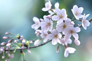 樹木(桜)イメージ画像